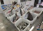 ФАС оценила административные барьеры для рыбы