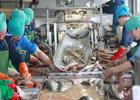 Сезон на рыбопереработке при расчете пенсии – за трудовой год