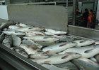 Новый законопроект: вези рыбу на завод или останешься без квот