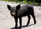 Бороться нужно не только с чумой свиней, но и с чумой административной